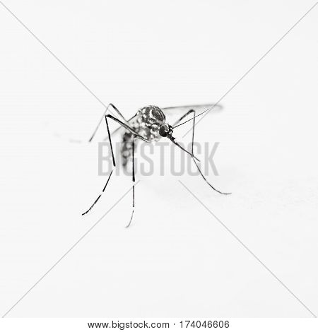 Mosquito on white background object for design