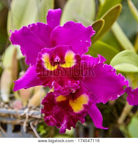 Purple orchids, Violet orchids. Orchid is queen of flowers. Orchid in tropical garden. Orchid in nature scarlet white yellow