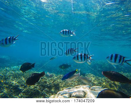 Underwater landscape. Tropical fish Dascillus in blue seawater undersea photo. Exotic lagoon with ocean life. Ocean coral reef ecosystem. Black and silver striped dascillus fish swimming in coral reef