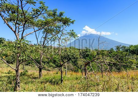 Rough grassland with saplings & young trees growing & woodland with Agua volcano in background in Escuintla, Guatemala, Central America