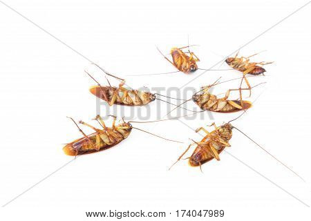Dead cockroaches on white background , dirt