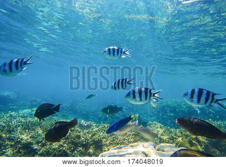 Underwater landscape with exotic fish Dascillus in blue seawater undersea photo. Tropic lagoon with ocean life. Ocean coral reef ecosystem. Black and silver striped dascillus fish swim in coral reef