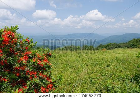 Beautiful Flame Azaleas blooming on Gregory Bald in The Great Smoky Mountains National Park