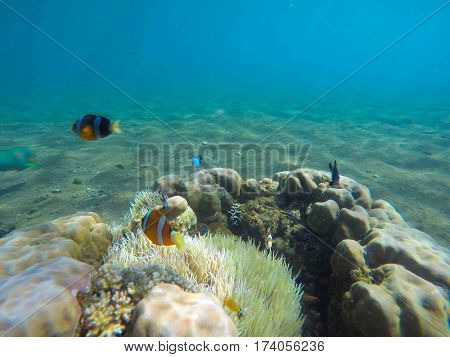 Underwater landscape with clown fish in actinia. Clownfish undersea photo. Clean blue sea lagoon with coral reef. Oceanic ecosystem. Underwater photography for wallpaper. Tropical seashore ecosystem