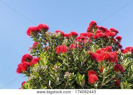pohutukawa tree flowers in bloom against blue sky