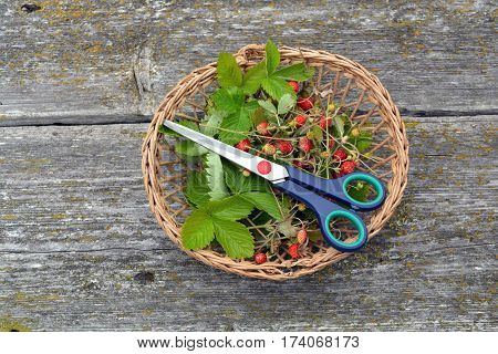 wicker basket with wild strawberries for tea and scissors on old wooden background