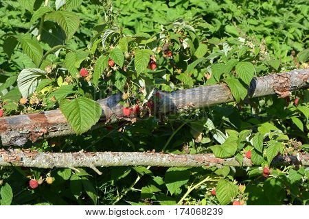 fresh ripe raspberry in garden and old wooden fence
