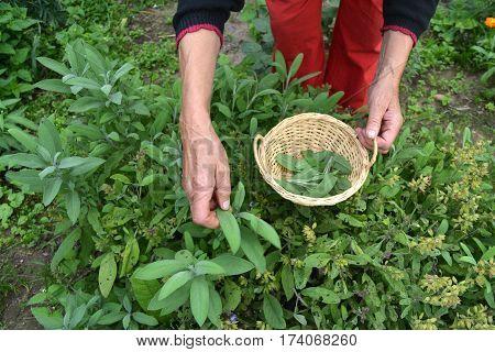 senior woman gardener hands picking in basket fresh sage Salvia officinalis medical leaves