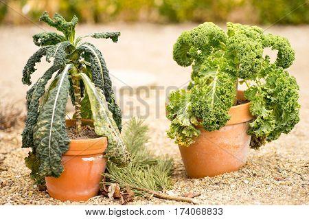 winter crop Dinosaur kale and general kale in terracotta pots
