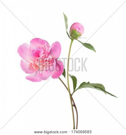 Light pink peonies  isolated on white background.