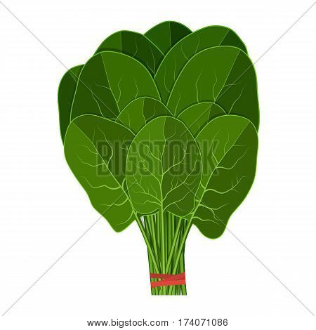Bunch of fresh spinach close up. Green raw spinach leaves isolated on white background. spinach for farm market, vegetarian salad recipe design. vector illustration in flat style