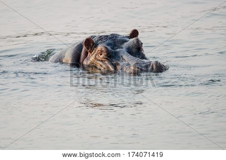 A hippo keeping its eyes focused while swimming in the Zambezi River.