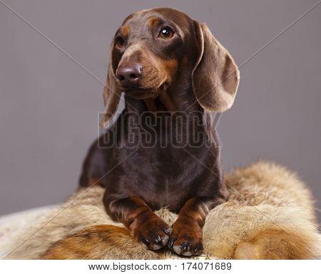 chocolate brown dachshund lying on the skins of fox