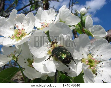 Green may-bug cockchafer with ants on blossoming pear flower in spring