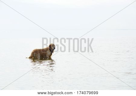 The dog breed golden retriever standing in water, turning his head, the white sky and the reflection of the sky merges with the water, there is no horizon.