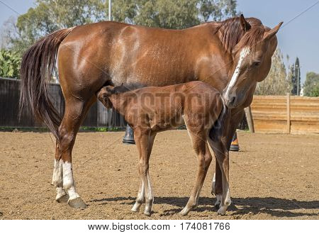 A Brown Mare And Her Foal At Paddock