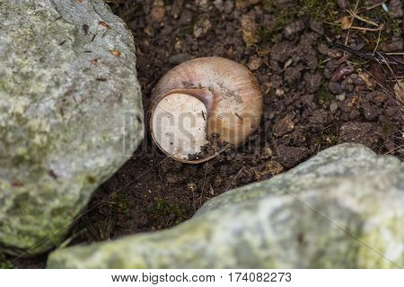 Close-up of vineyard snail in nature retreated in the snail shell.