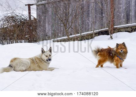 Two Dogs In The Winter To Play In The Snow