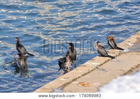 Group of Pygmy Cormorant, Phalacrocorax pygmaeus, resting on river banks on sunny day