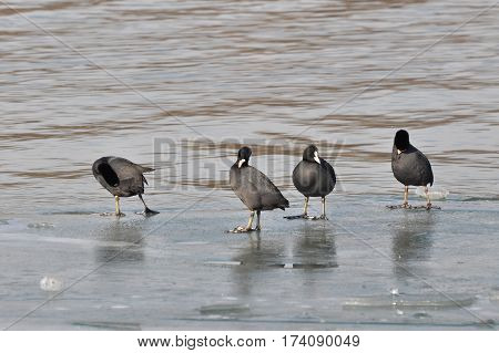 Group of coots ( fulica atra ) standing together on ice in a winter