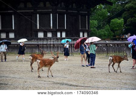 Japanese People And Traveler Foreigner Holding Umbrella Walking With Deers While Raining For Visit A