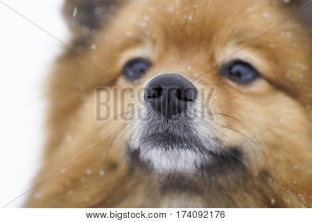 Small Dog Sitting On White Snow Breed German Spitz, Closeup