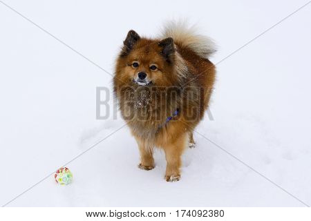 Small Decorative Dog Plays Winter Ball