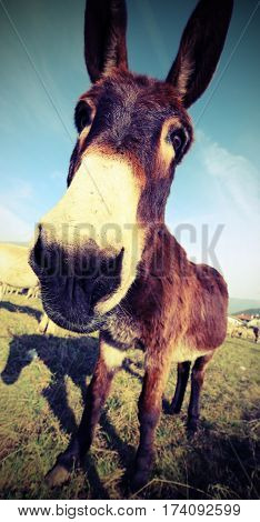 Funny Brown Donkey With Long Ears While Grazing
