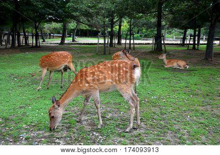 Deers At Todai-ji Temple Daibutsuden Hall In Nara Japan
