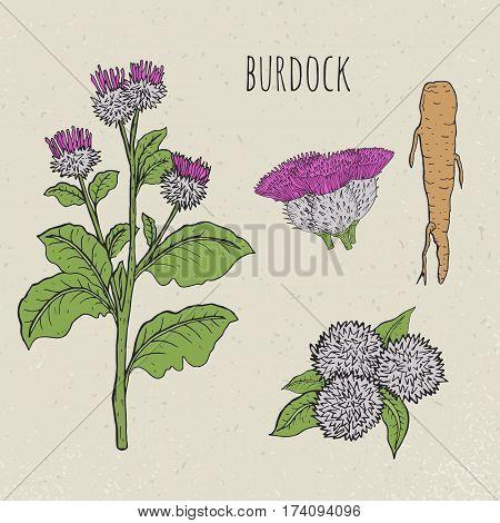 Burdock medical botanical isolated illustration. Vintage sketch colorful. Plant, root, leaves, blossoming hand drawn set.