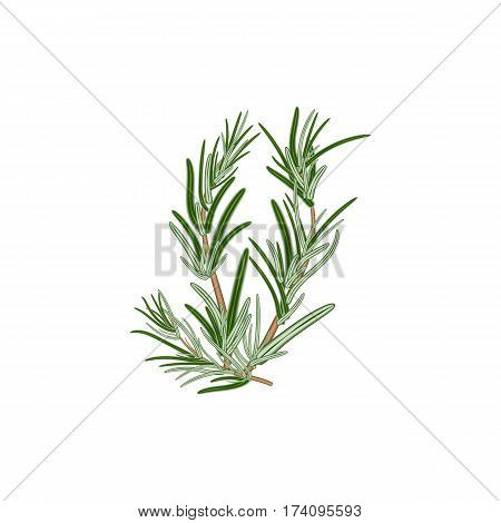 Fresh green sprigs of rosemary on a white background. For use as logos on cards in printing posters invitations web design and other purposes.