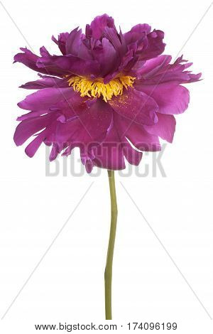 Peony Flower Isolated