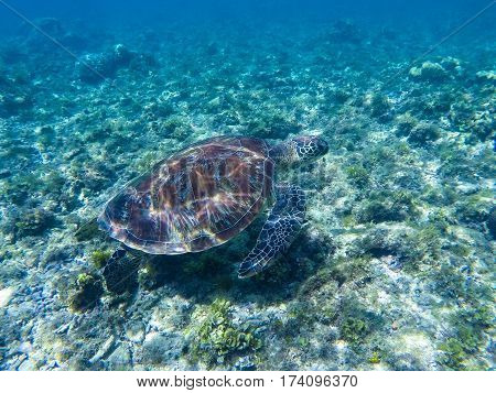 Green turtle under sunlight reflections. Green turtle in sea water. Ecosystem of tropical seashore. Snorkeling with turtle image. Underwater landscape with sea animal. Green sea tortoise in blue water