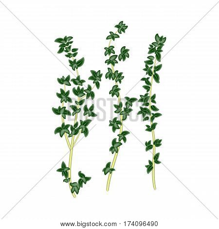 Fresh green sprigs of thyme savory on white background. For use as logos on cards in printing posters invitations web design and other purposes.