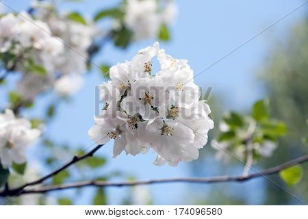 apple tree blooming blossom bunch of flowers closeup on blue sky background