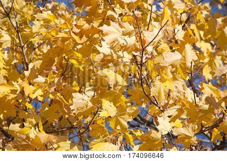 bright golden fall maple leaves pattern on tree branches
