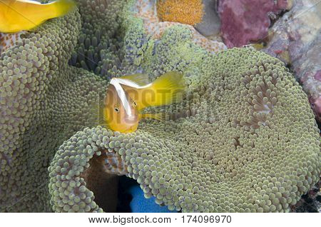 Yellow Clownfish, Amphiprion sandaracinos