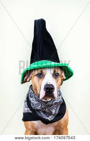 Dog in St. Patrick's Day hat. Staffordshire terrier puppy dressed up in green hat and bandana posing in white background