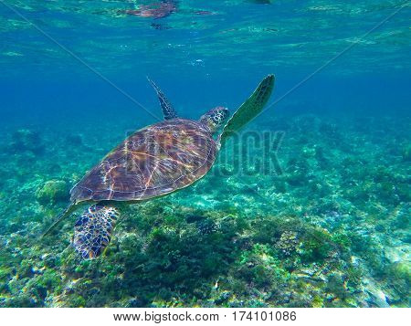 Sea turtle diving above seaweeds. Green turtle in sea water. Ecosystem of tropical seashore. Snorkeling with turtle image. Underwater landscape with sea animal. Green sea tortoise in blue water