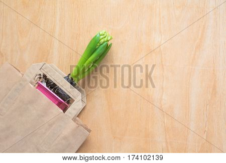 Gardening and planting concept. Seedlings hyacinth, flowers pink hyacinth. Copy space. Seasonal gardening. Top view. Spring background.