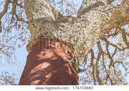 Extraction of cork naked trunk cork tree