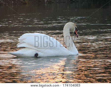 white swan floating the river water closeup