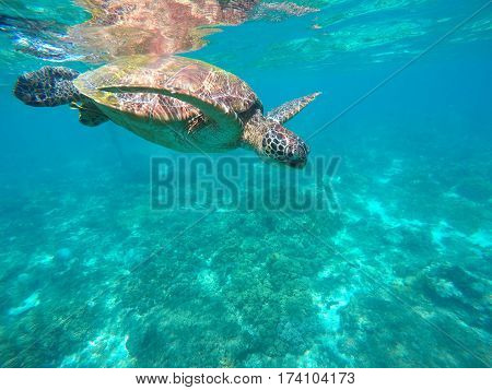 Sea turtle in turquoise water. Green sea turtle close photo. Lovely tortoise closeup. Green turtle swimming in the sea. Snorkeling with animal. Tropical marine life. Snorkeling with green turtle