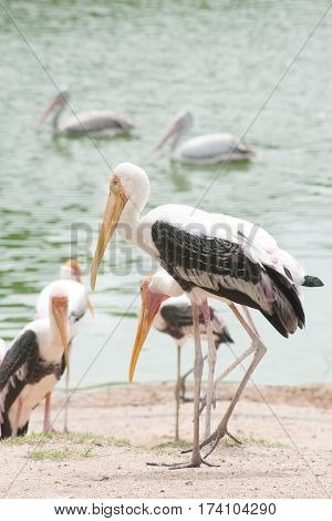 Painted Stork Bird (Mycteria leucocephala) standing at the edge of lake