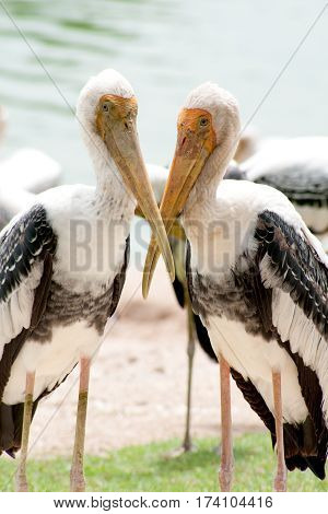 Painted Stork Bird (Mycteria leucocephala) standing at the edge of lake.