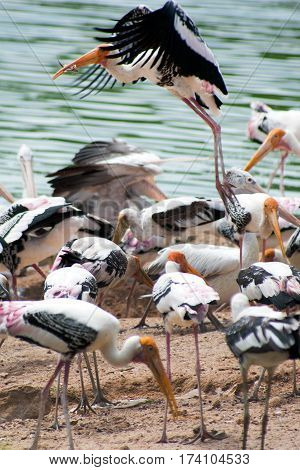 Painted Stork Bird (Mycteria leucocephala) with spread wings.