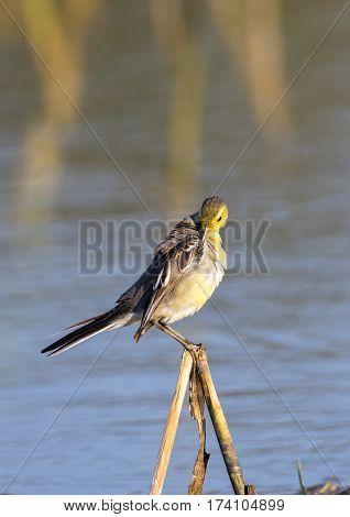Image of Bird Citrine Wagtail (Motacilla citreola) Wild Animals.