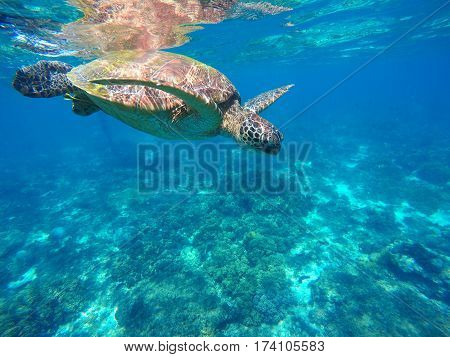 Diving sea turtle in blue water. Green sea tortoise close photo. Lovely sea turtle closeup. Green turtle swimming in the sea. Snorkeling with animal. Tropical waters life. Snorkeling with green turtle