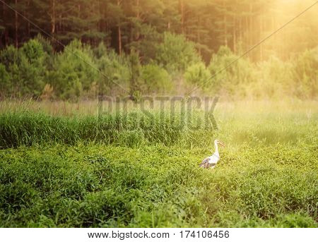 White stork bird in the meadow near forest, natural outdoor sunny landscape