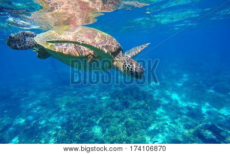 Underwater sea turtle close photo. Green tortoise in blue lagoon. Lovely sea turtle closeup. Green turtle swimming in ocean. Snorkeling with animal. Tropical water life. Snorkeling with green turtle